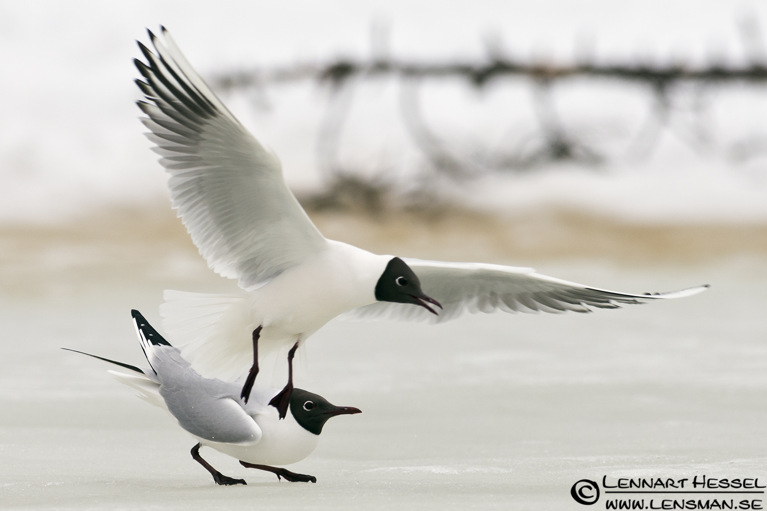 Black-headed Gull in Finland