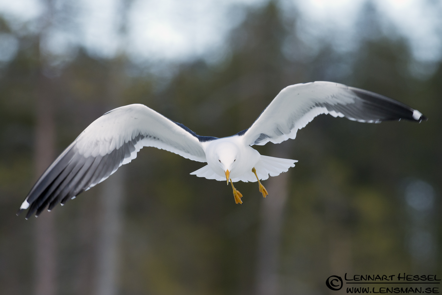 Greater Black-backed Gull in Finland