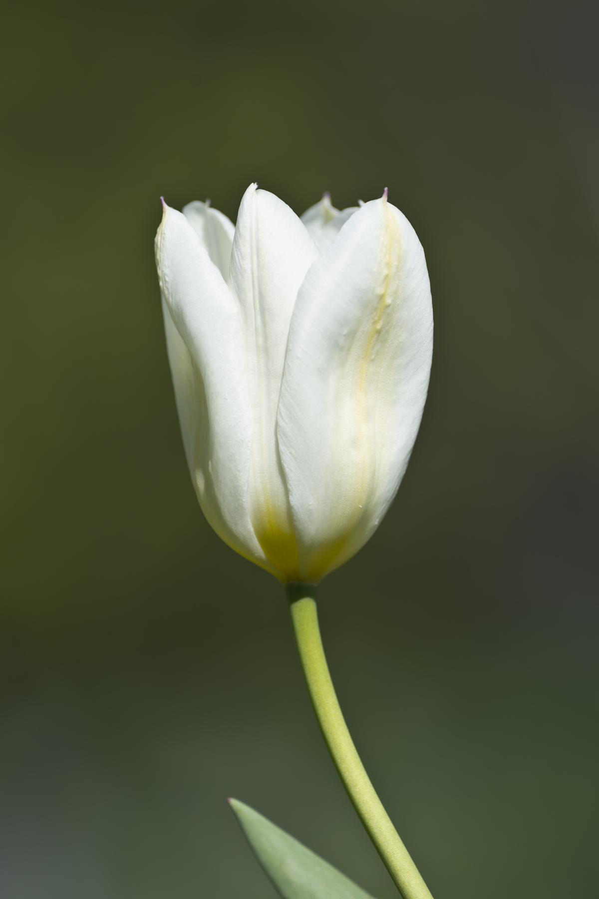 Tulip in Örgryte lazy