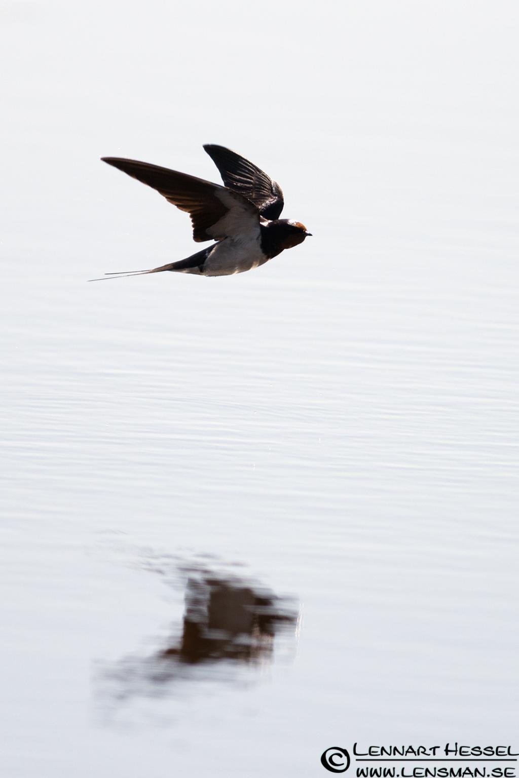 Barn Swallow at Stora Amundön lazy
