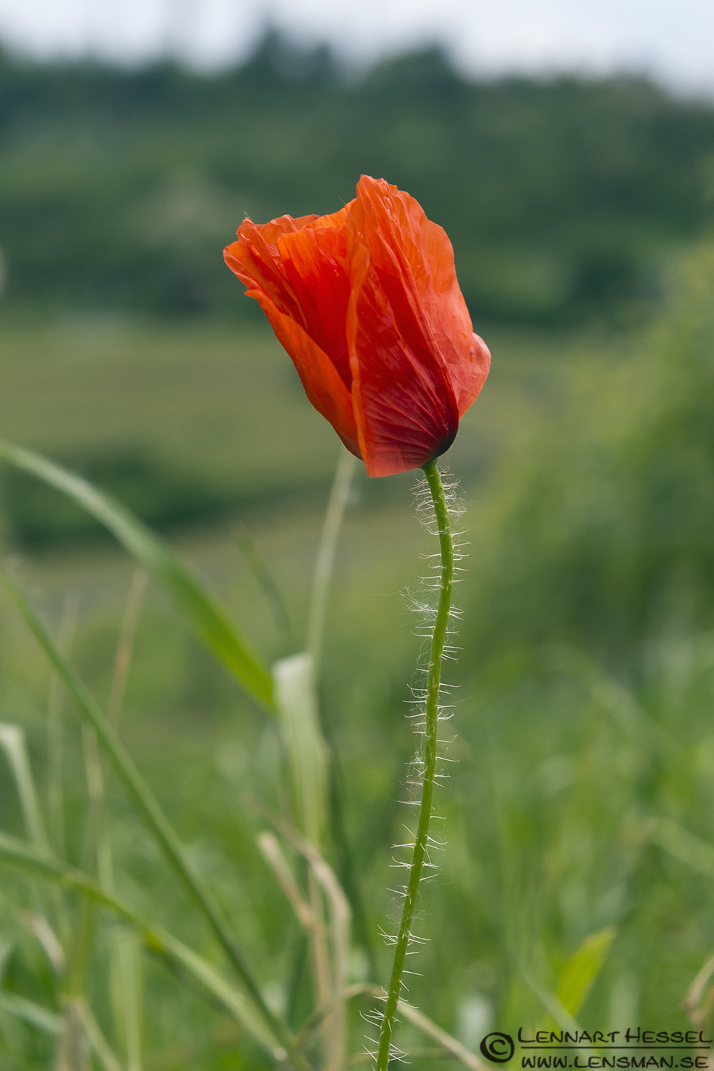 Poppy in Piedmont, Italy