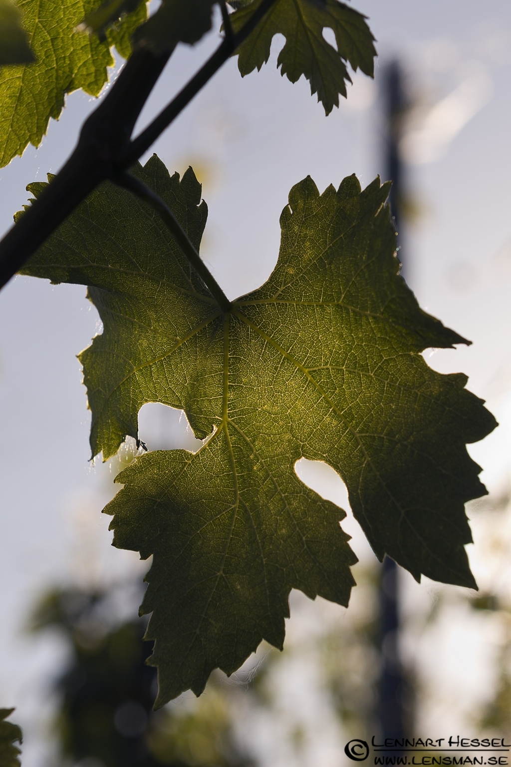 Wine leaf in Piedmont, Italy