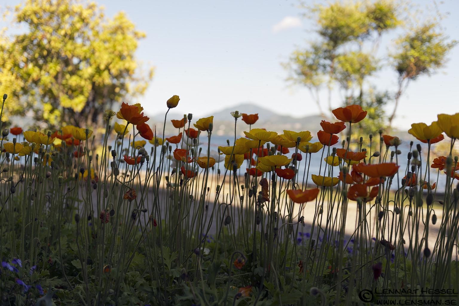 Flowers at Lago Maggiore, Italy Piedmont