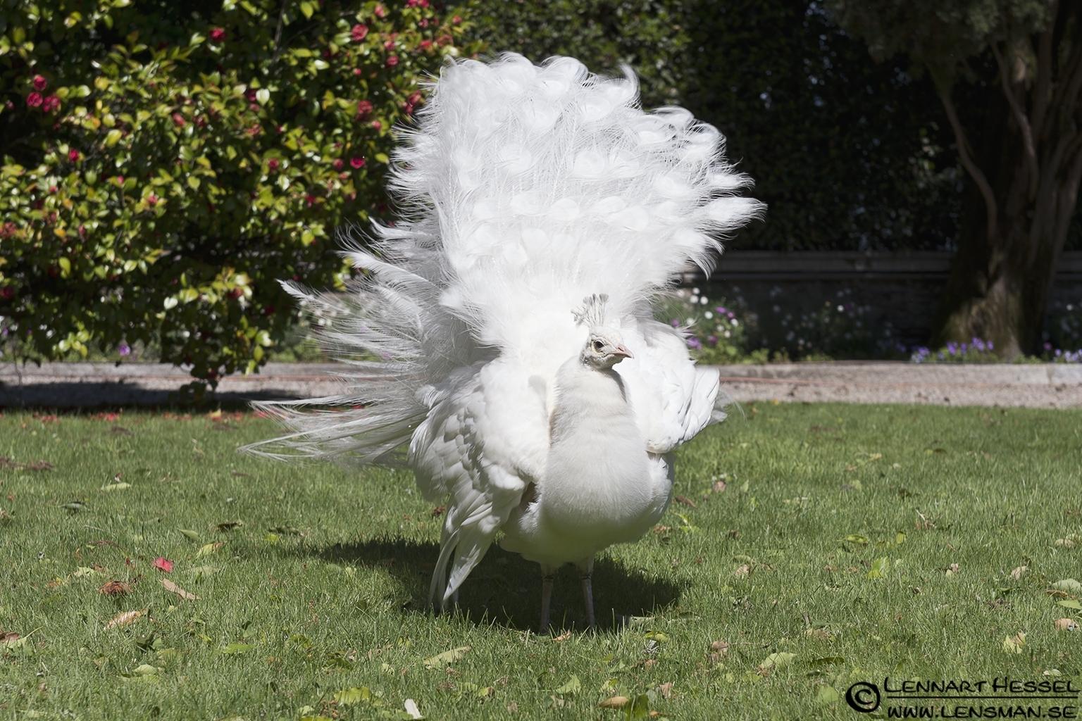 White Peafowl at Lago Maggiore, Italy Piedmont