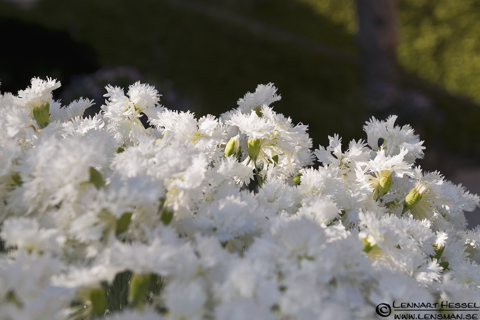 White flowers at Lago Maggiore, Italy Piedmont