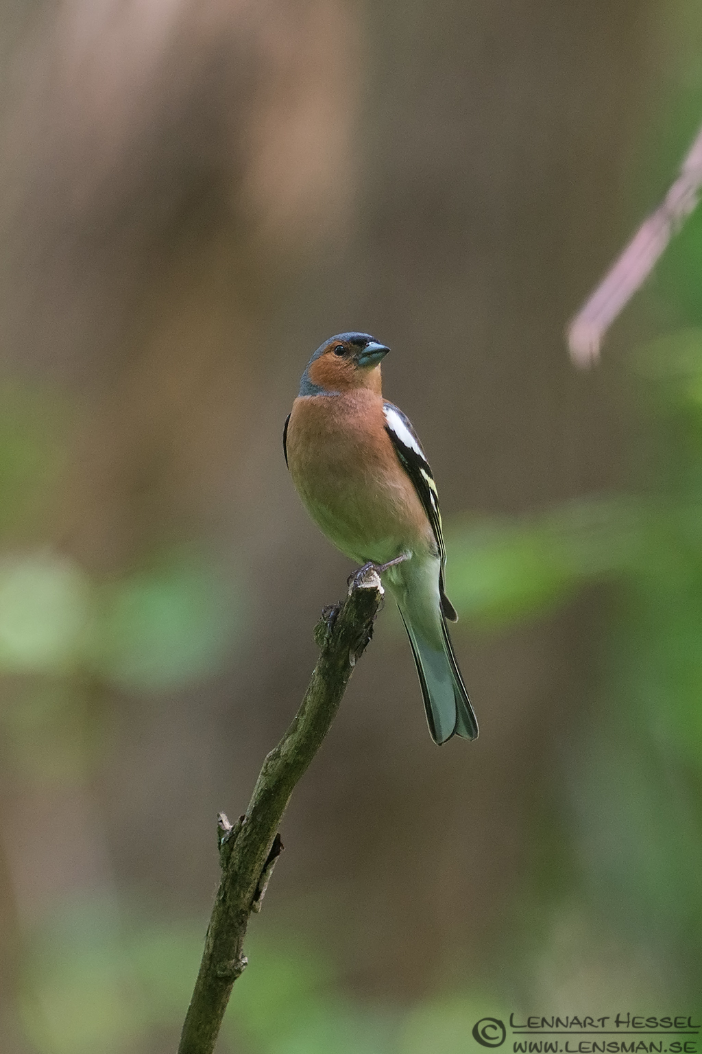 Chaffinch at Säveån, Gothenburg