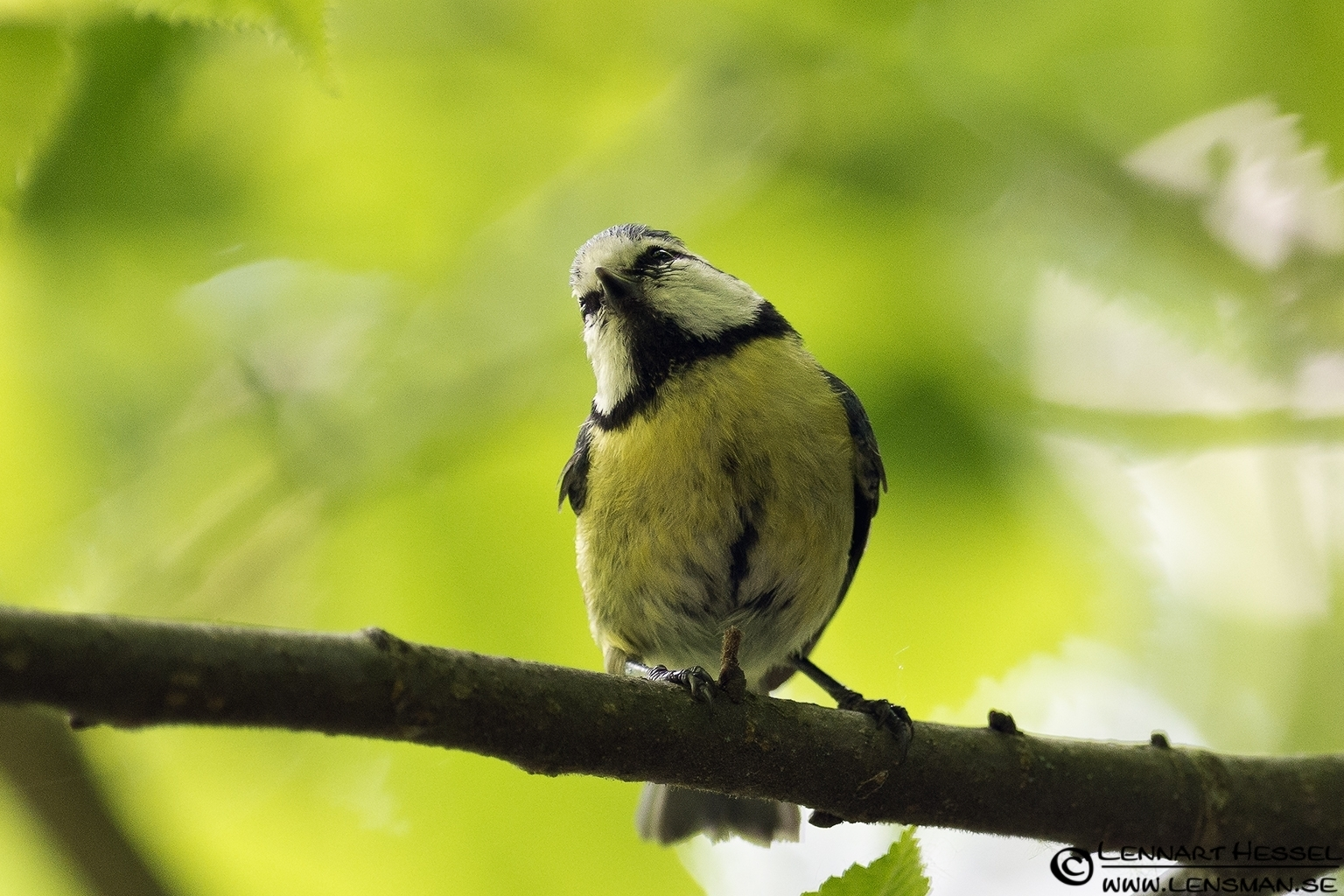 Great Tit at Säveån, Gothenburg