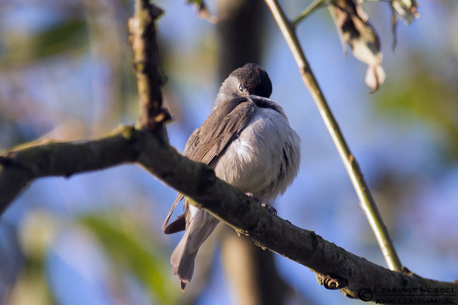 Blackcap at Säveån, Gothenburg