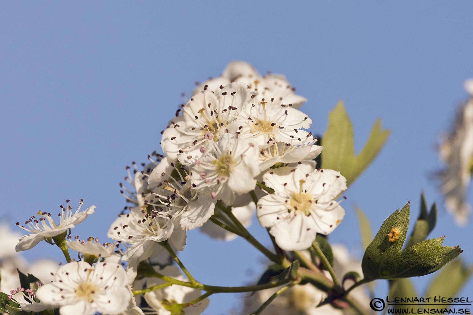 Blossom at Säveån, Gothenburg