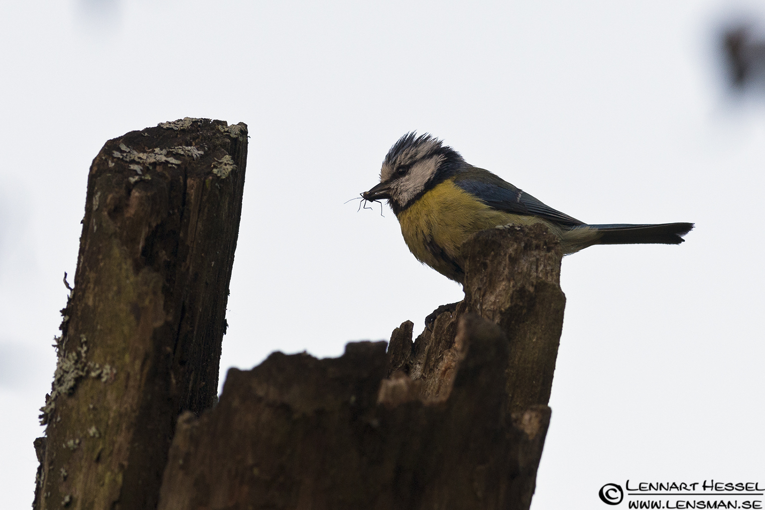 European Blue Tit at Säveån, Gothenburg
