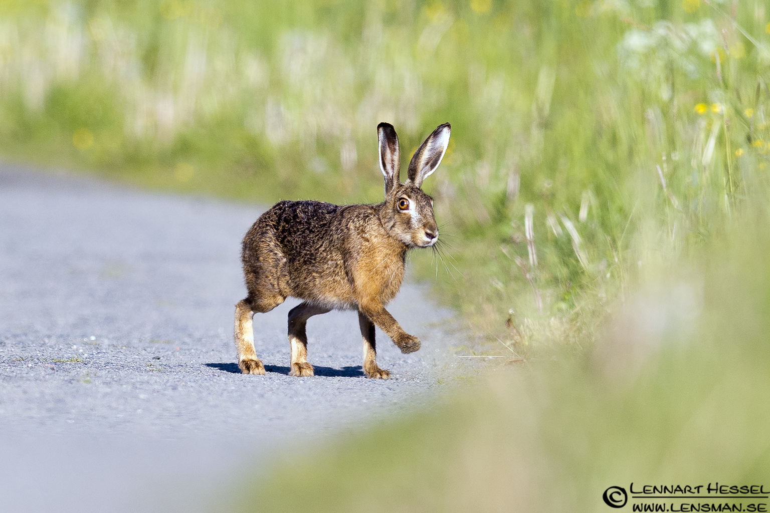 European Hare at Säveån, Gothenburg