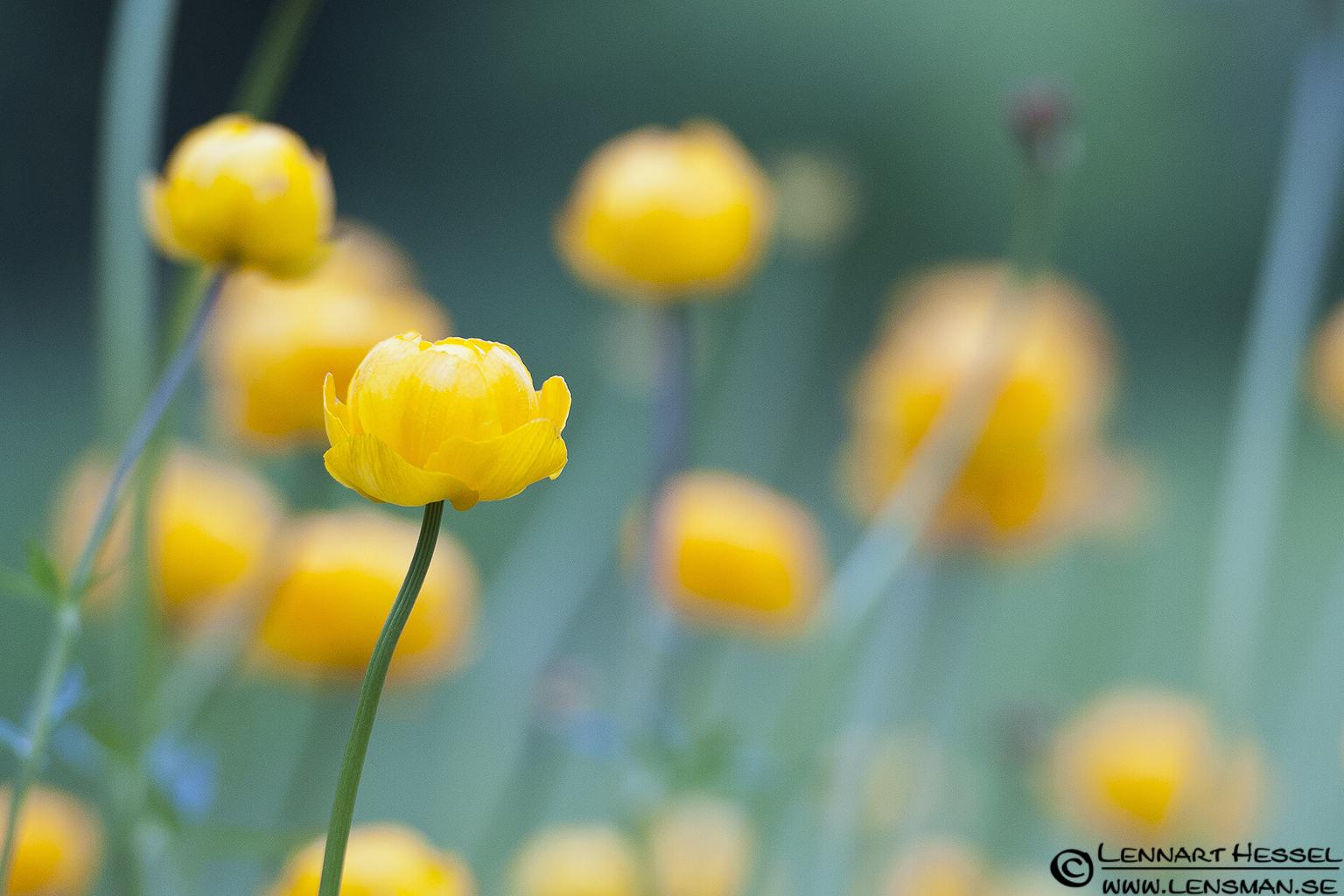 Yellow flowers at Nossebro