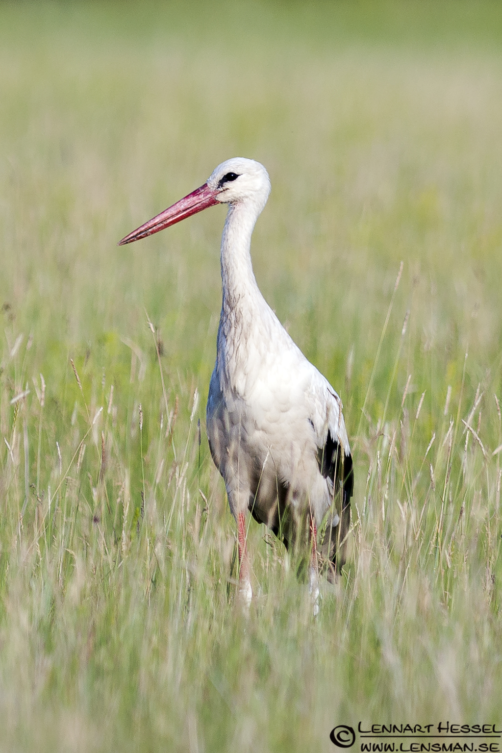 White Stork in Hungary