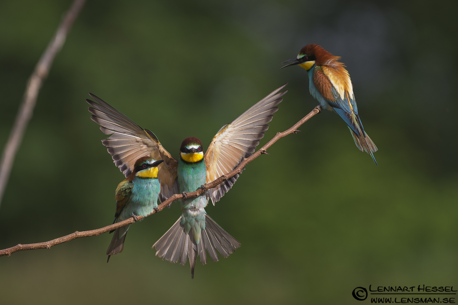 European Bee-eater in Hungary