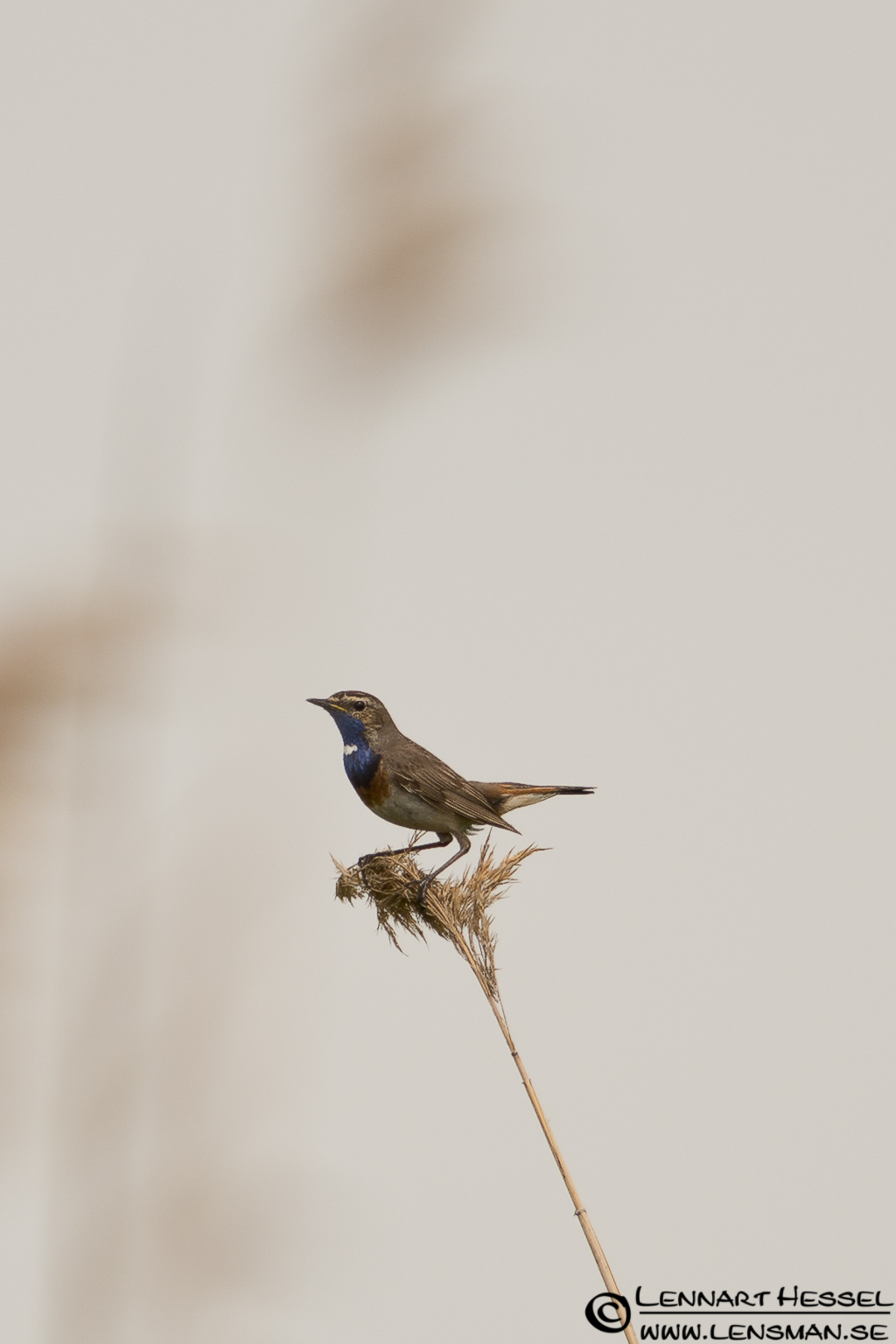 Bluethroat in Hungary