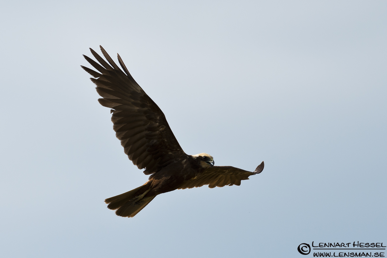 Marsh Harrier in Hungary