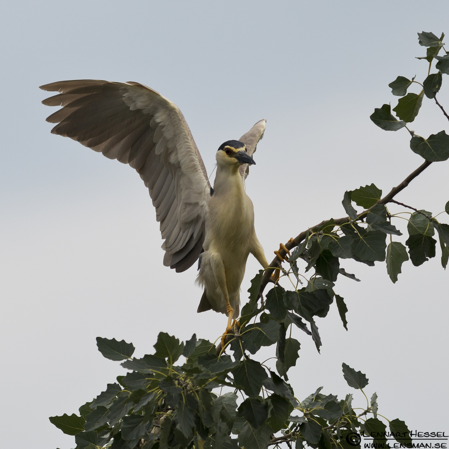 Night Heron in Hungary