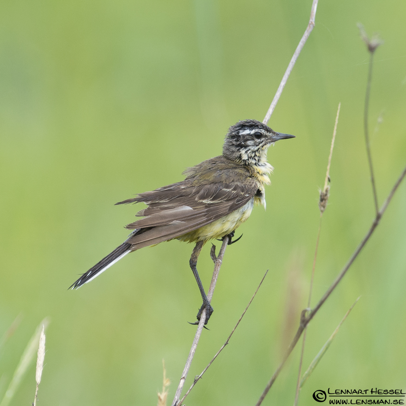 Yellow Wagtail in Hungary