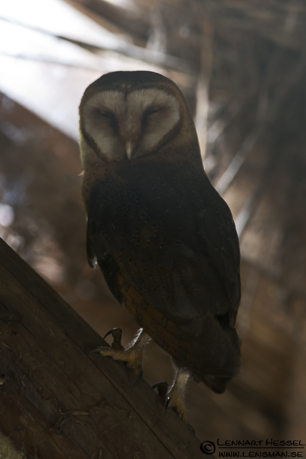 Barn Owl in Hungary