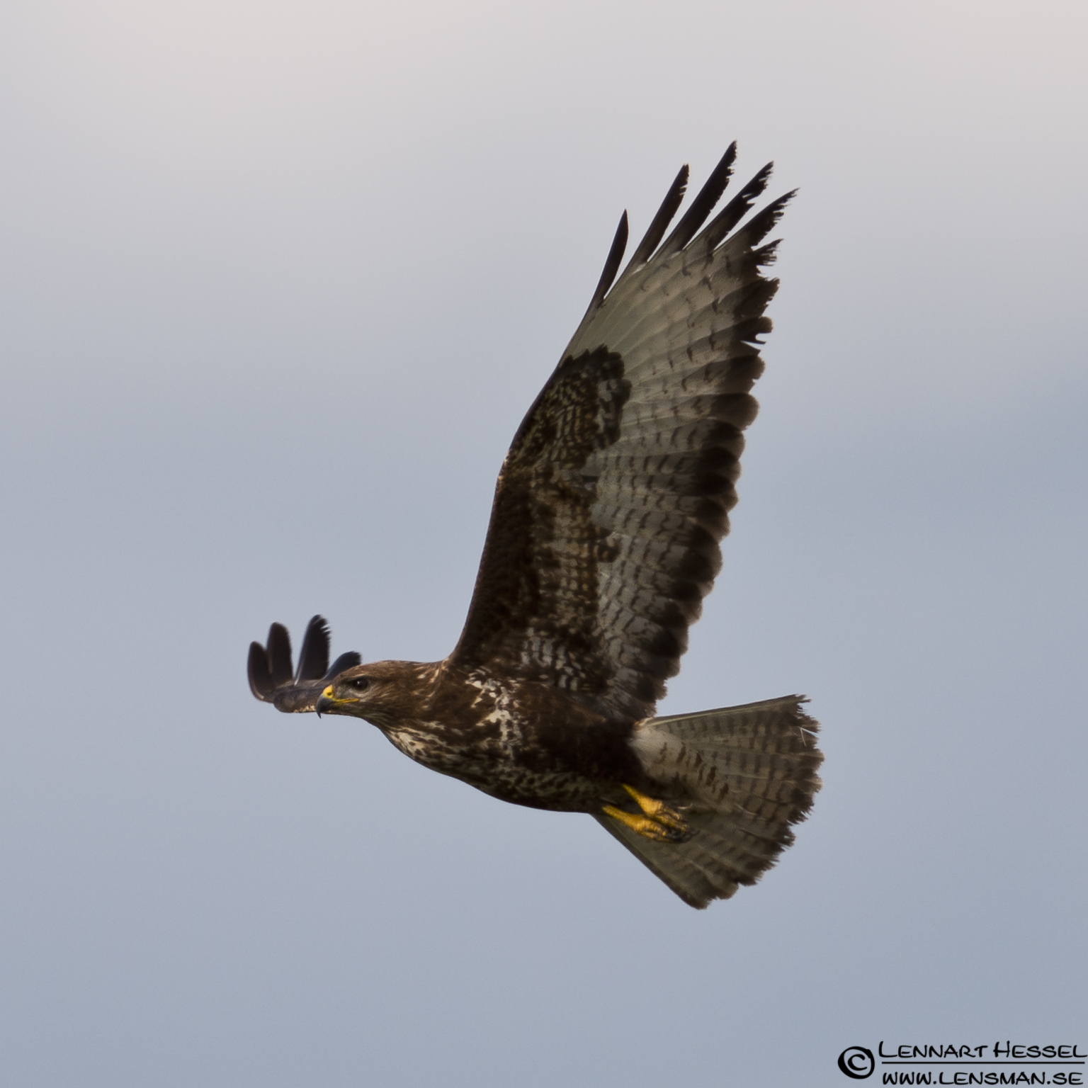 Common Buzzard in Hungary