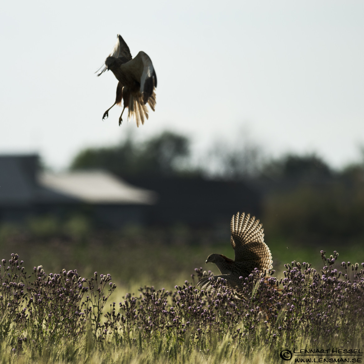 Marsh Harrier and Common Pheasant in Hungary, thunderstorm