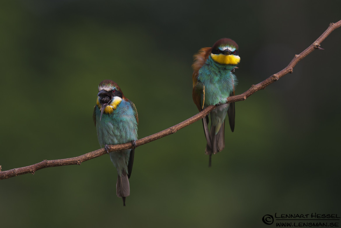 European Bee-eaters in Hungary, hoopoe