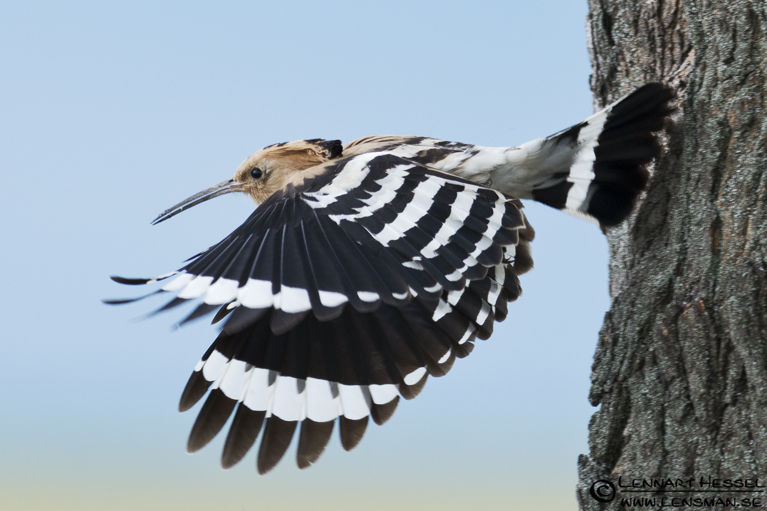 Hoopoe in Hungary