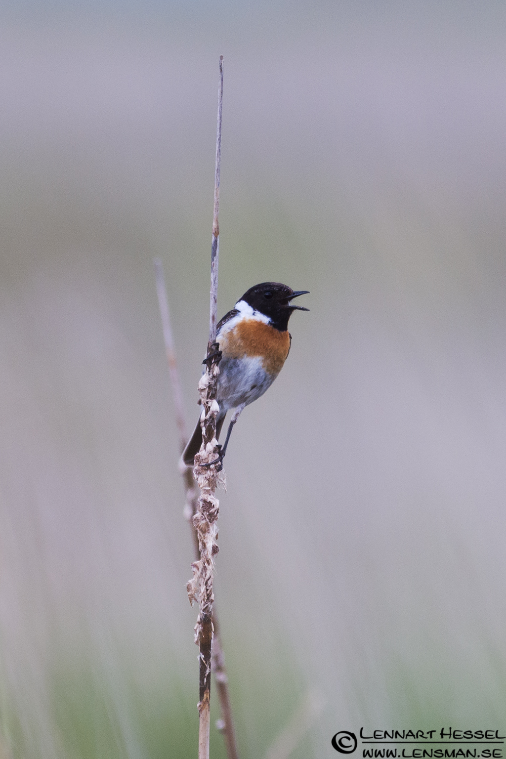 Stonechat in Hungary
