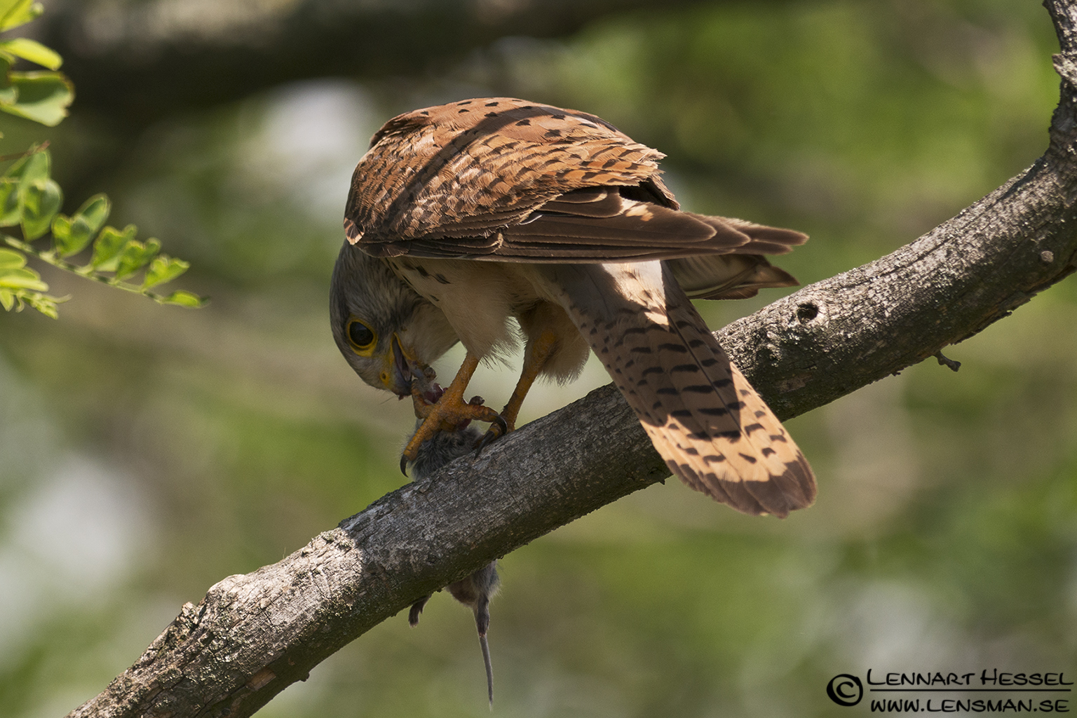 Common Kestrel in Hungary