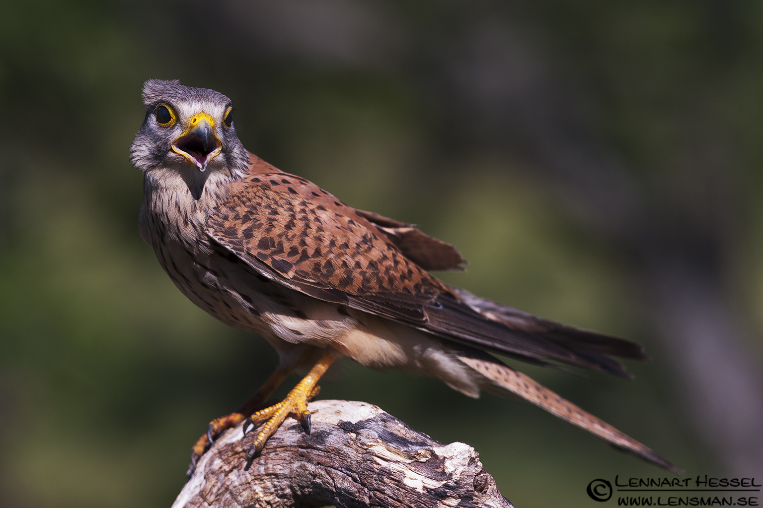 Common Kestrel in Hungary, wild bird