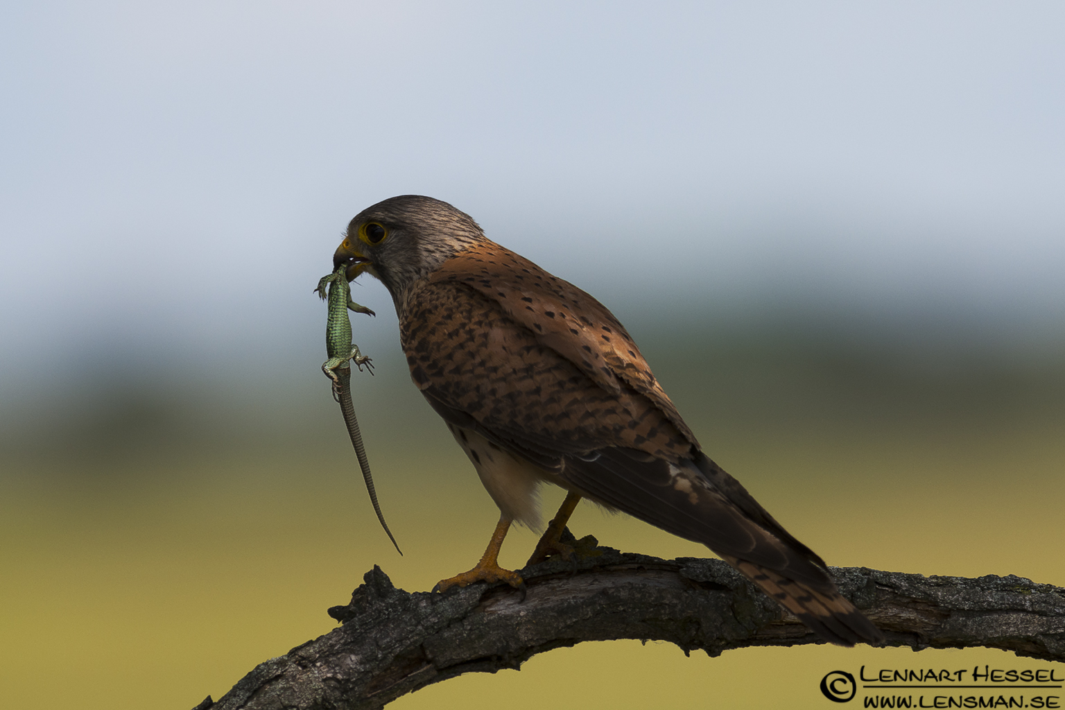 Common Kestrel in Hungary