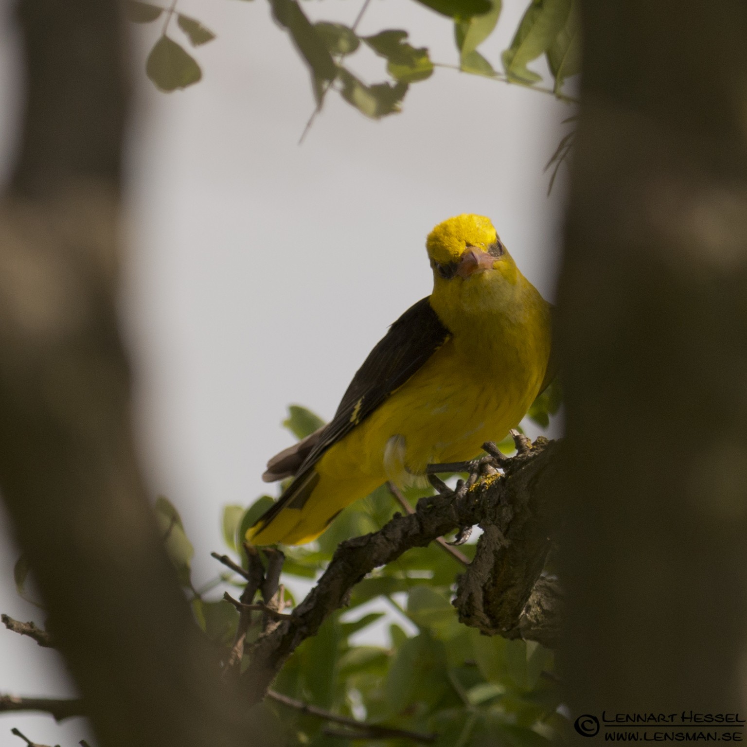 Golden Oriole in Hungary