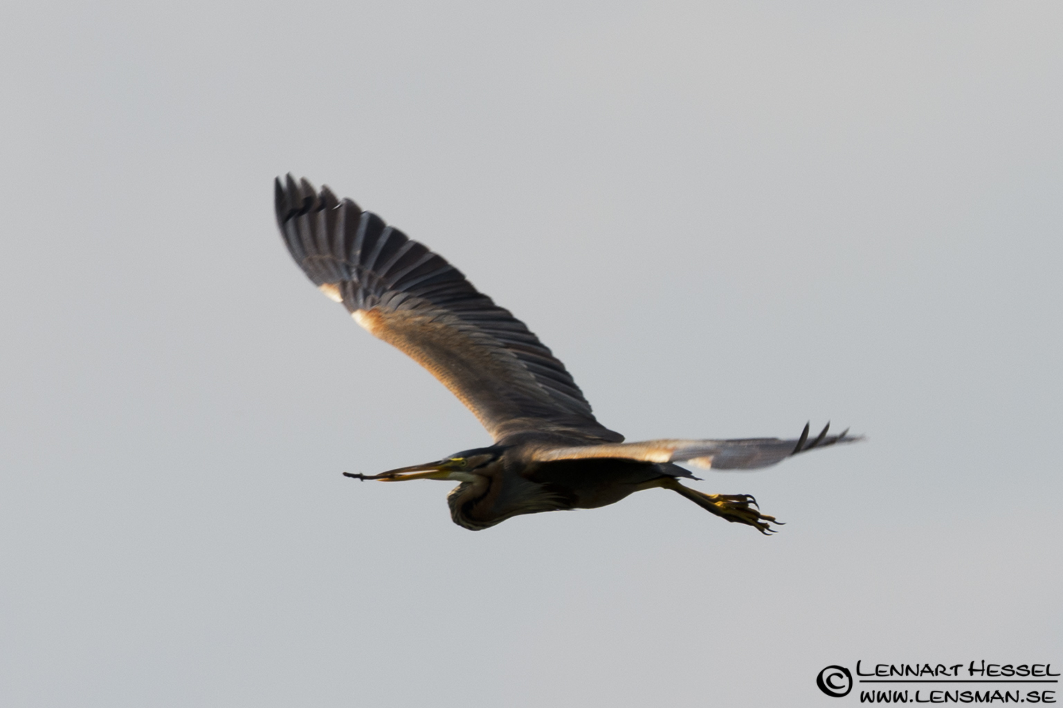 Purple Heron in Hungary