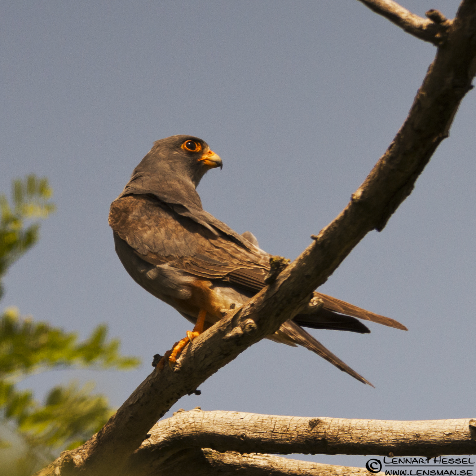 Red-footed Falcon in Hungary