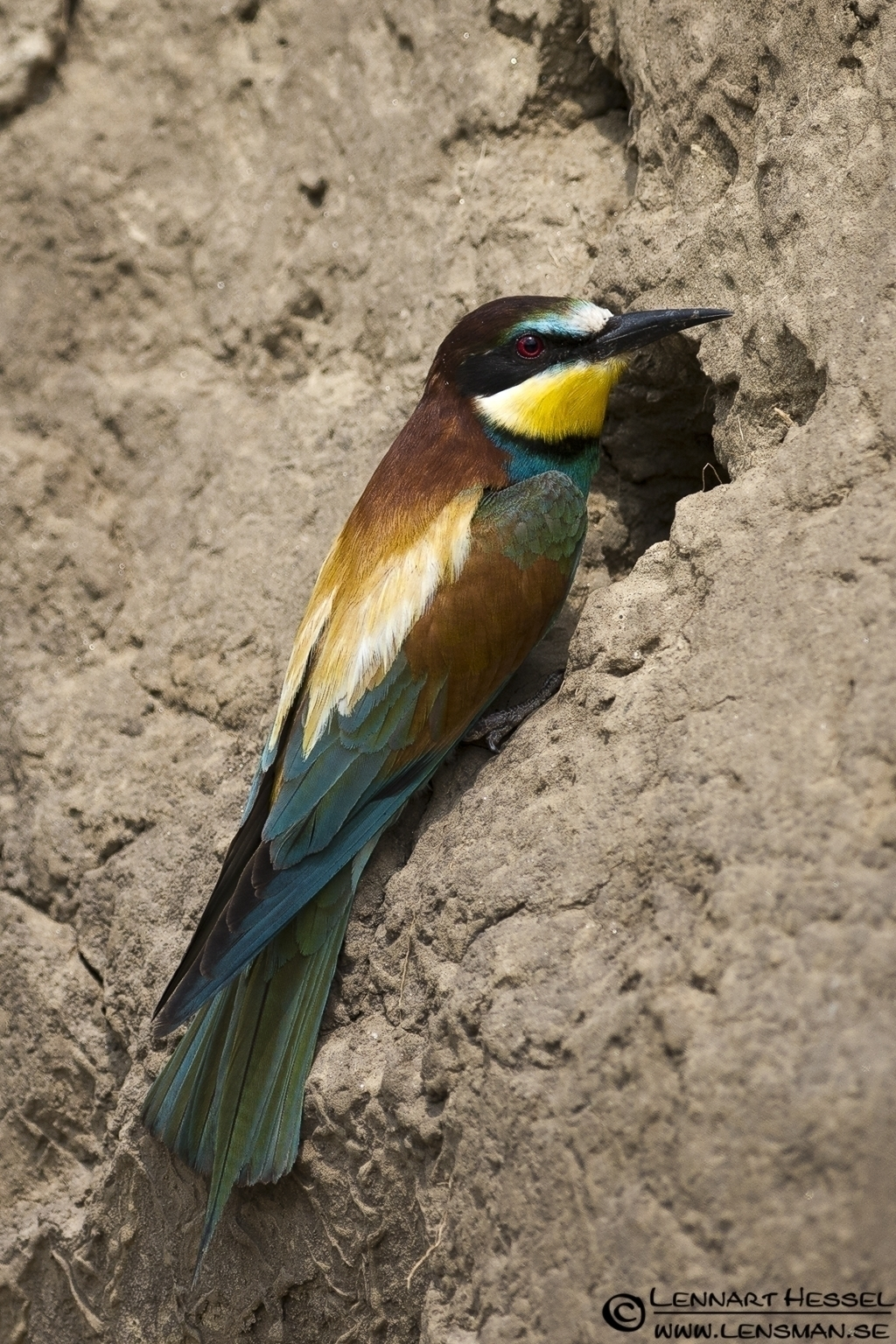 European Bee-eater at the nest site in Hungary