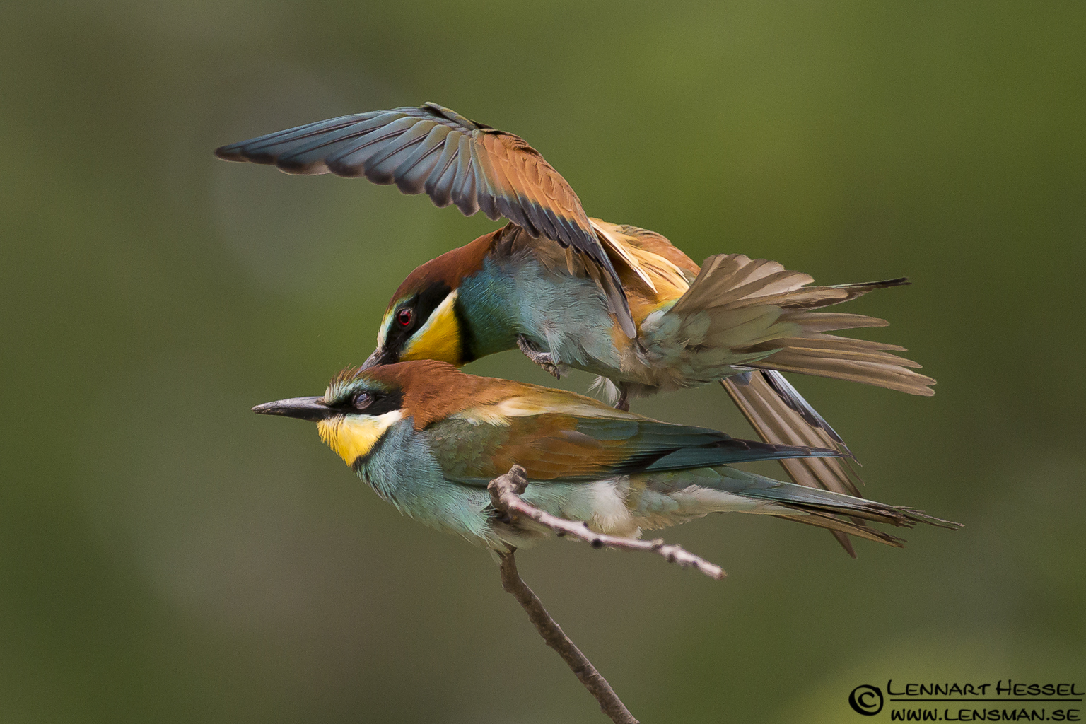 European Bee-eater mating in Hungary