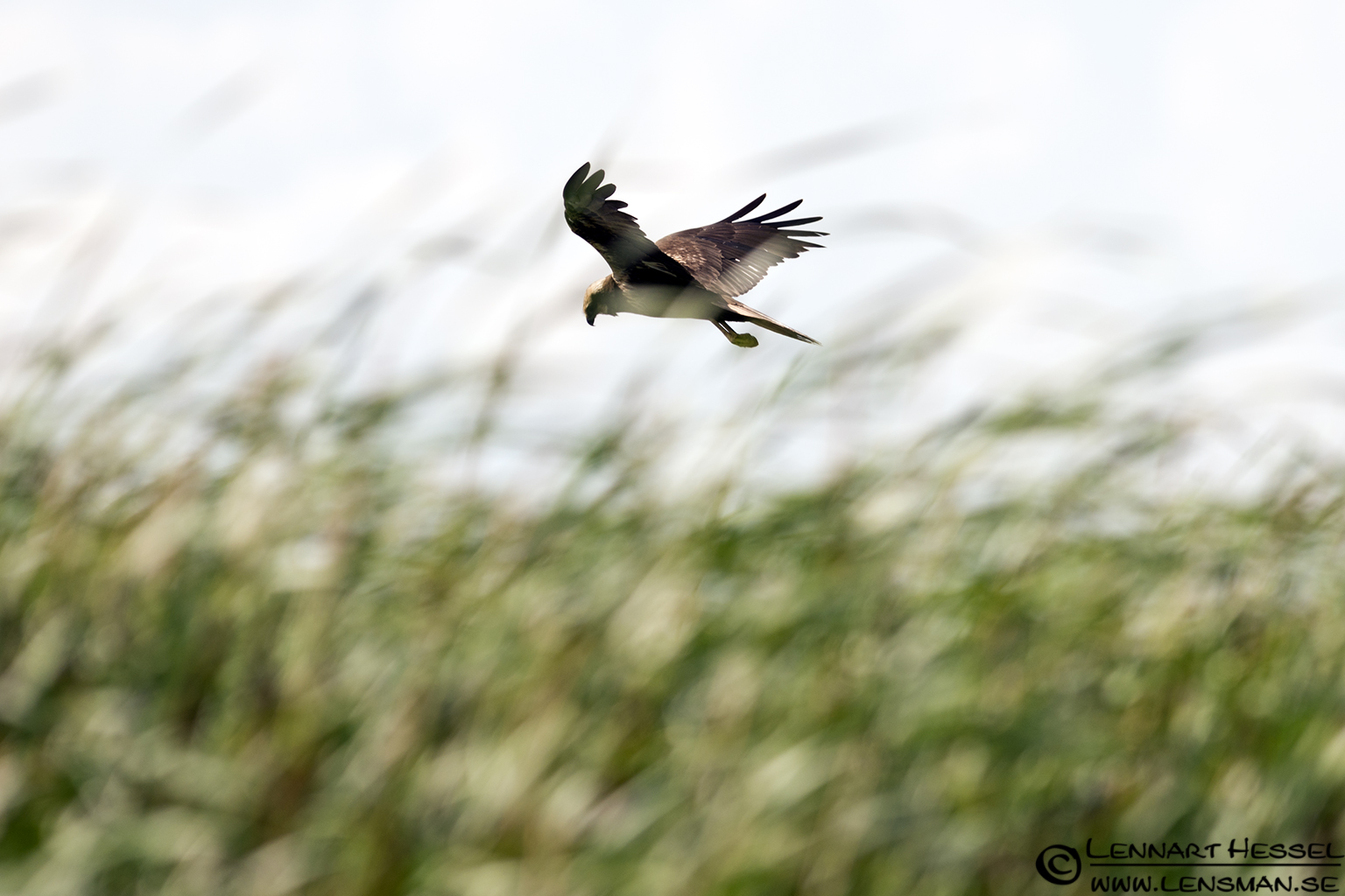 Marsh Harrier at Lake Tisza, Hungary
