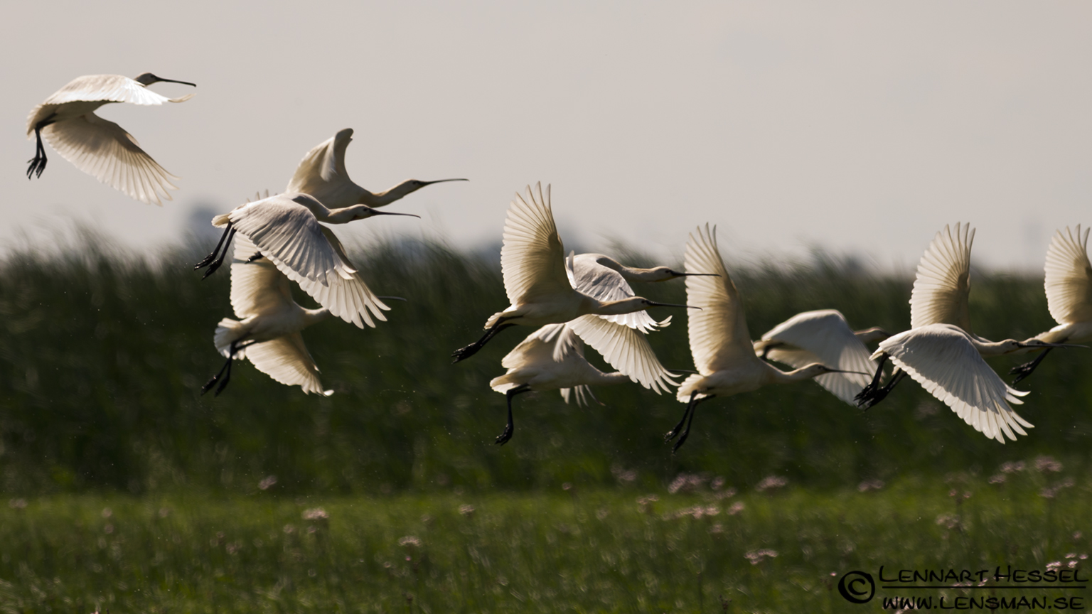 Spoonbills over the rice fields in Hungary