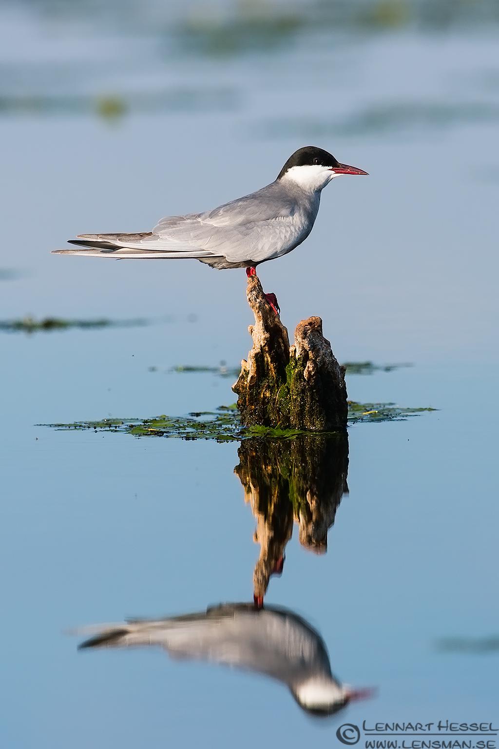 Whiskered Tern sunning