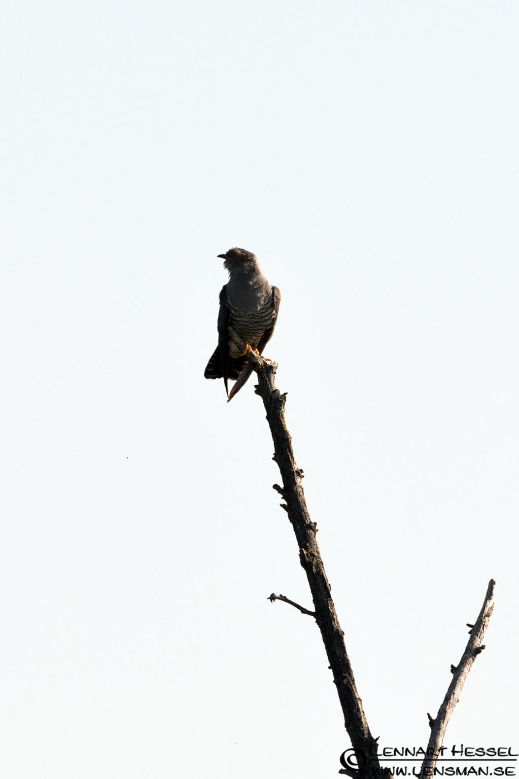 Cuckoo in Hungary