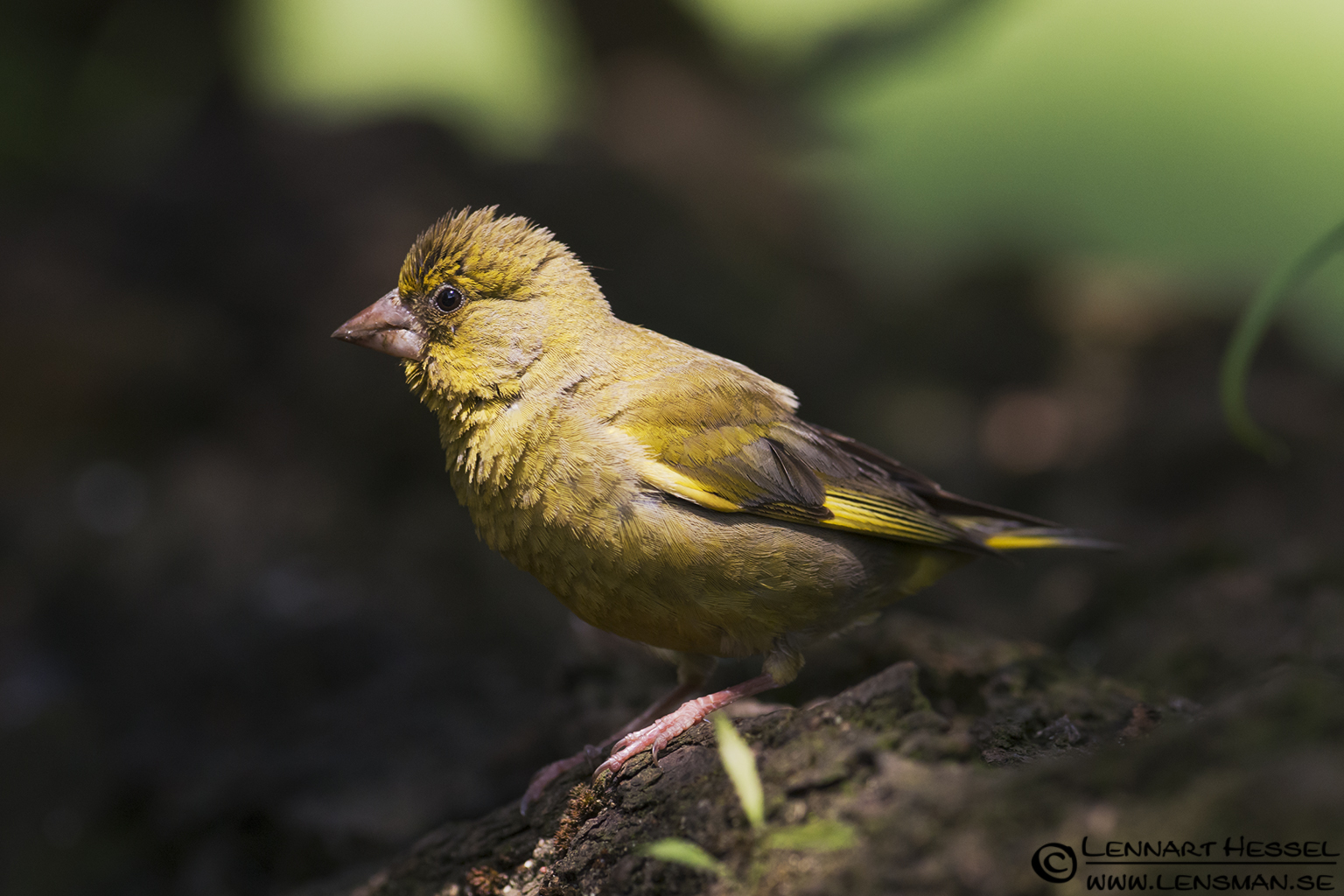 Greenfinch in Hungary