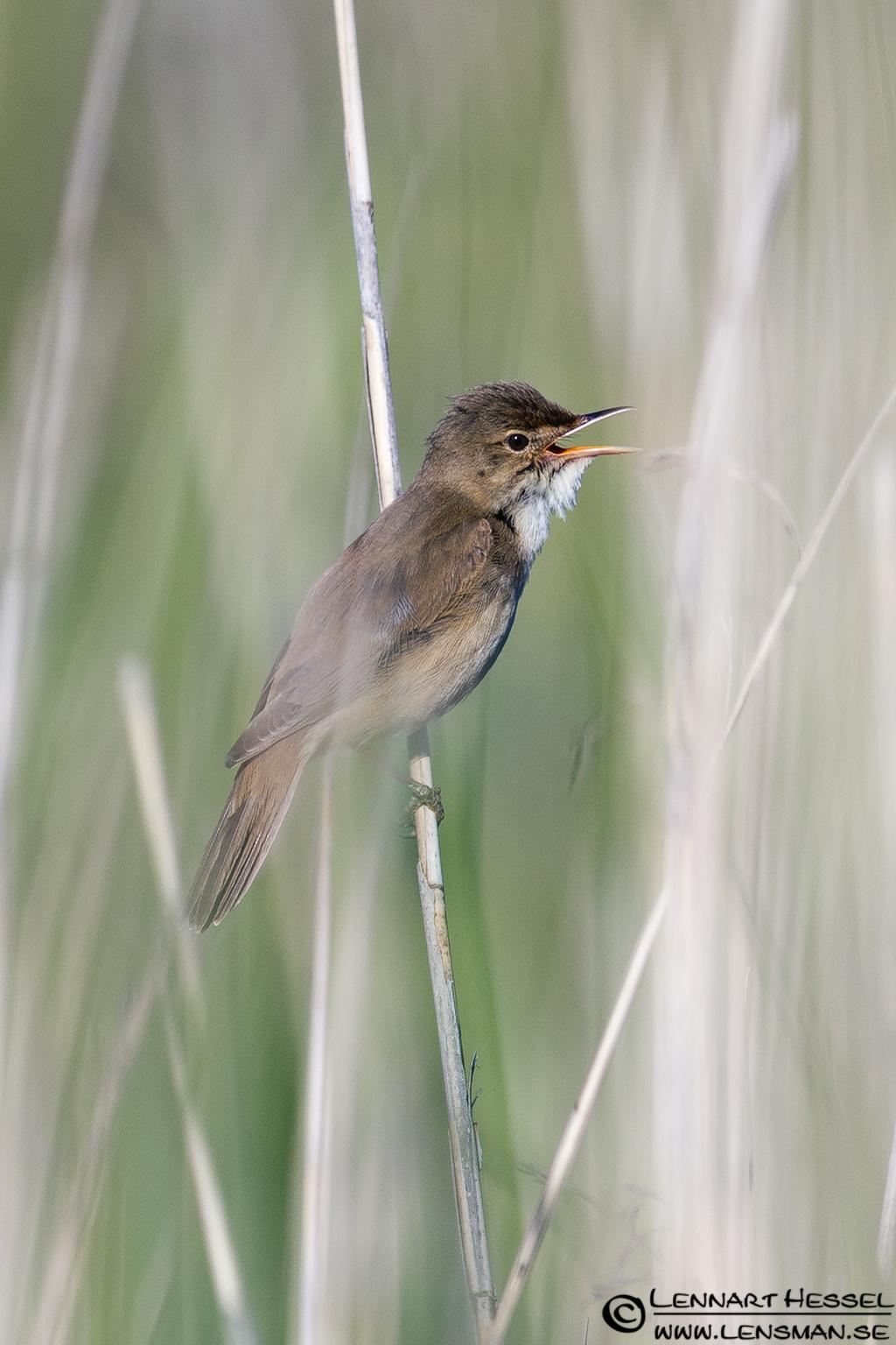 Eurasian Reed Warbler at Säveån, reed bunting