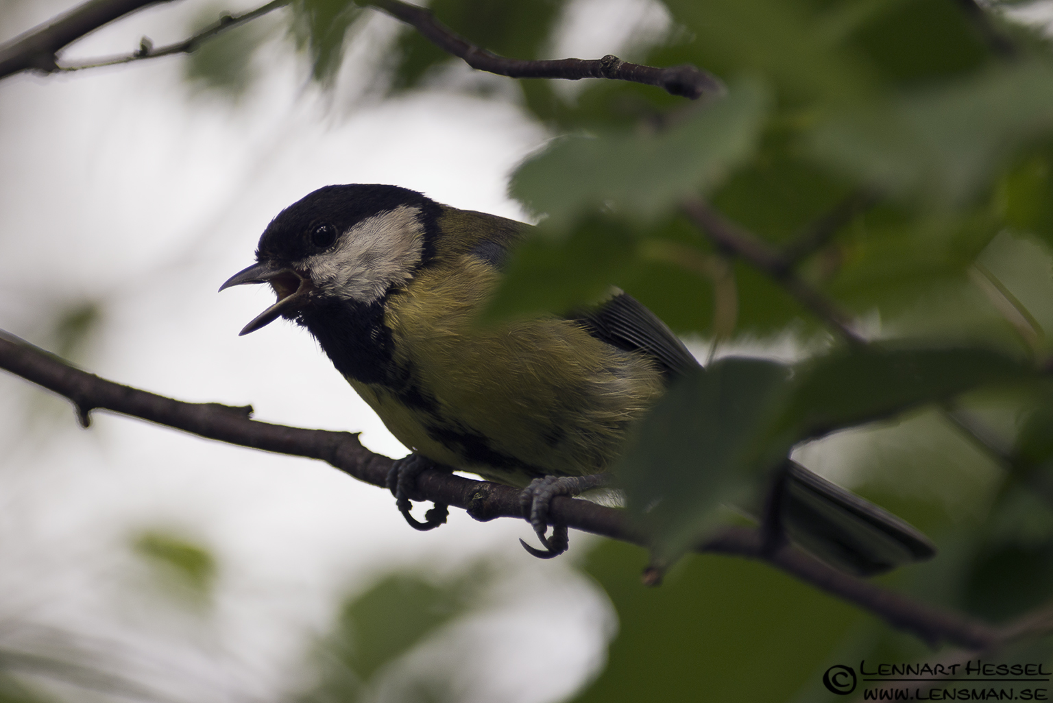 Great Tit calling at Lärjeån