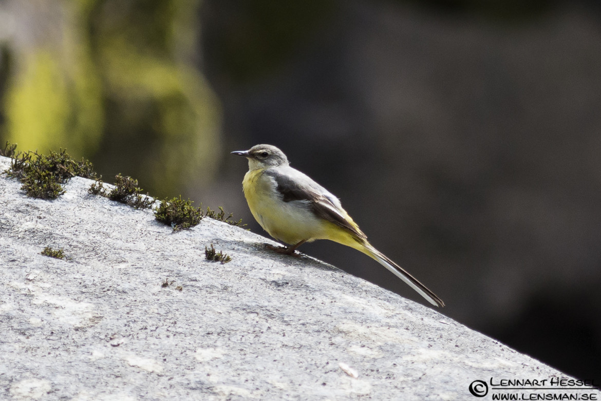 The Grey Wagtail at Lärjeån, midsummer