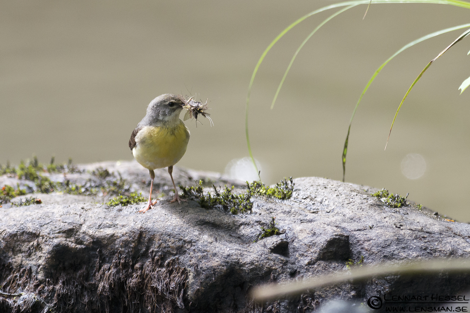 Grey Wagtail at Lärjeån