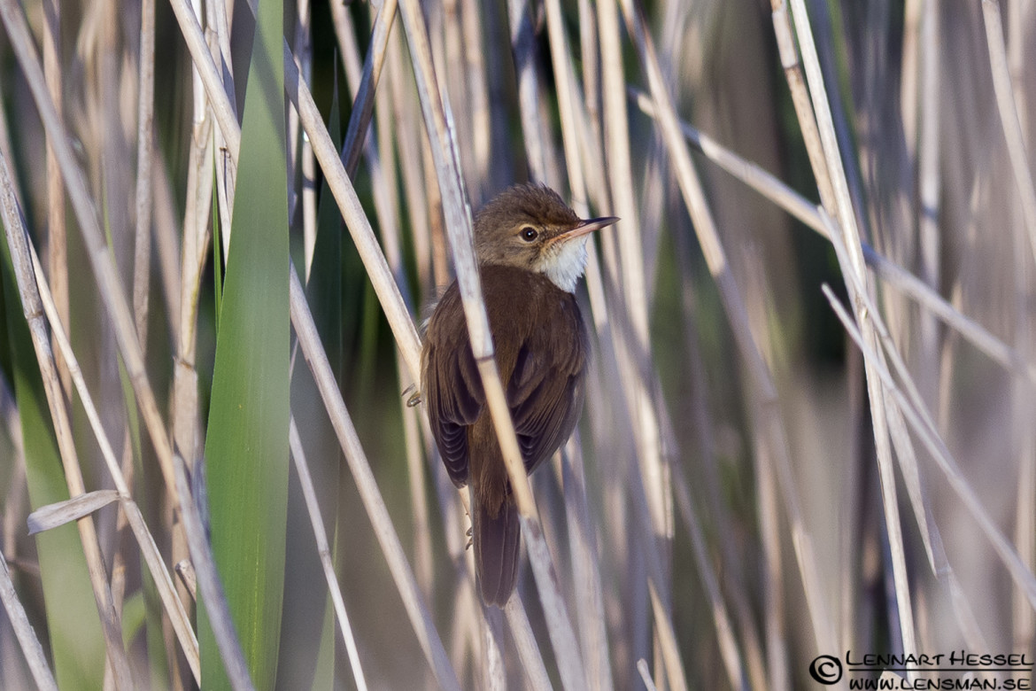 Eurasian Reed Warbler at Säveån, wild bird