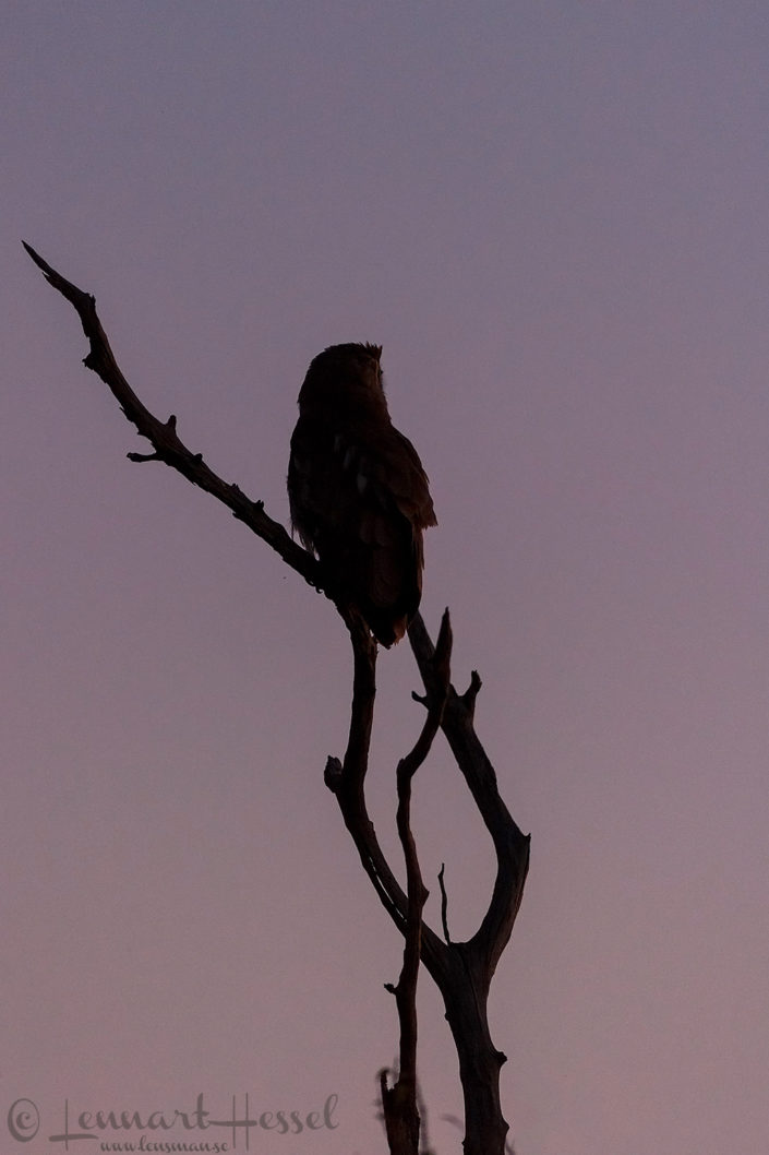 Verreaux's Giant Eagle-Owl seen in Moremi Game Reserve, Botswana