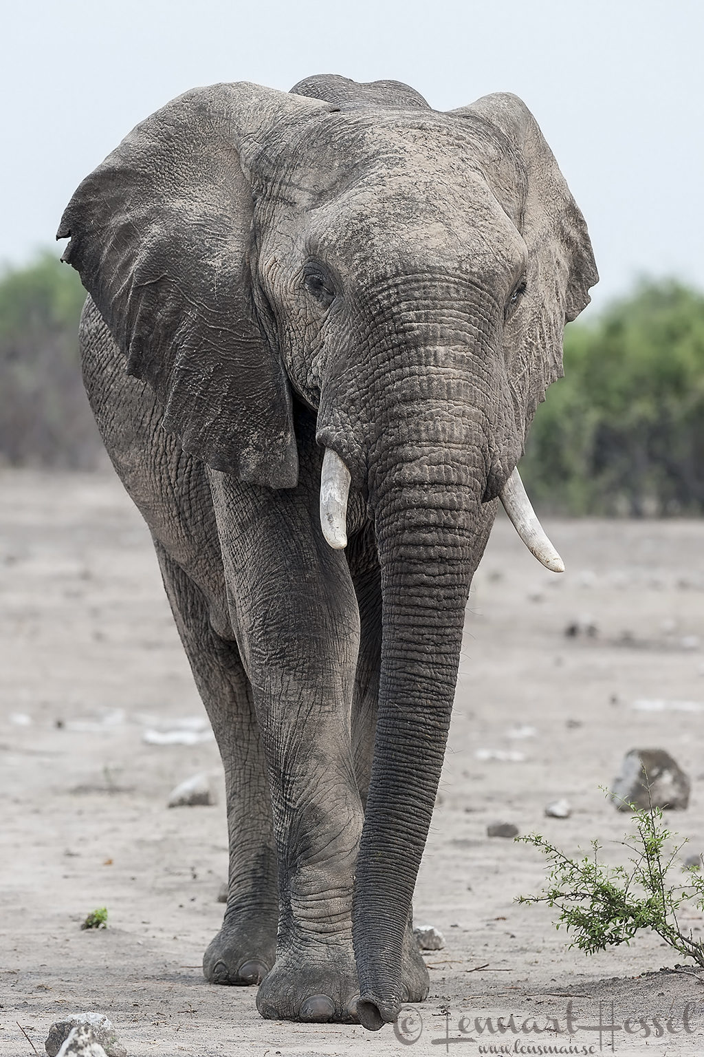 Elephant Bull in Chobe National Park, Botswana