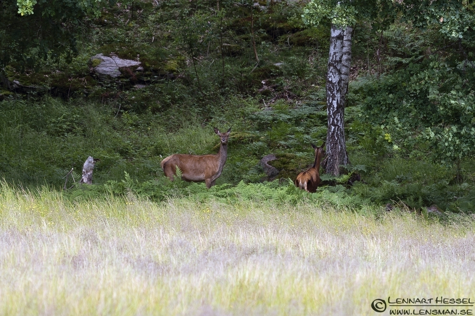 Red Deer in the clearing