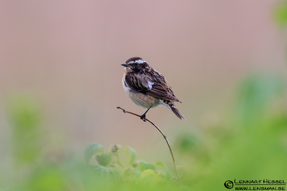 Adult Whinchat, bag hide